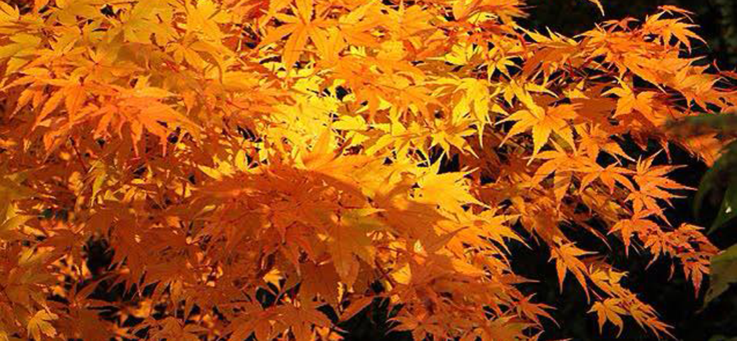 The gallery for different types of leaves for Maple trees for sale