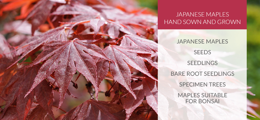 Japanese Maple Trees for Sale Stoke-on-Trent Staffordshire