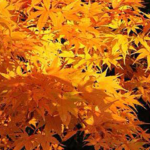 Japanese Maple trees for sale in Stoke-on-Trent