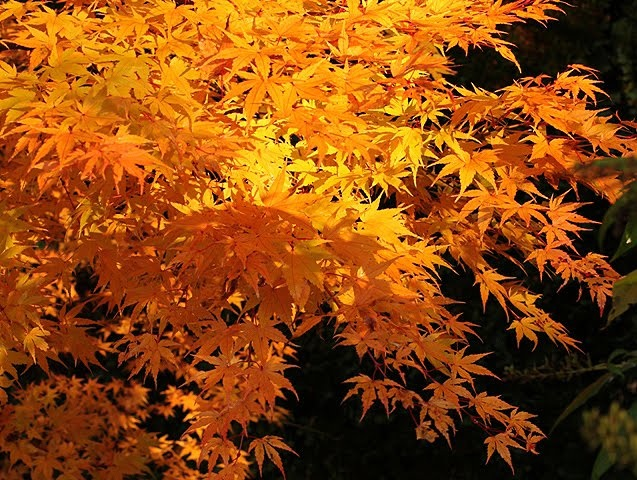 Acer palmatum, green mountain maple - Japanese Maple Trees for sale