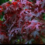 Red Japanese Maple Trees for sale