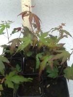 Japanese Maple Bare Root seedlings for sale