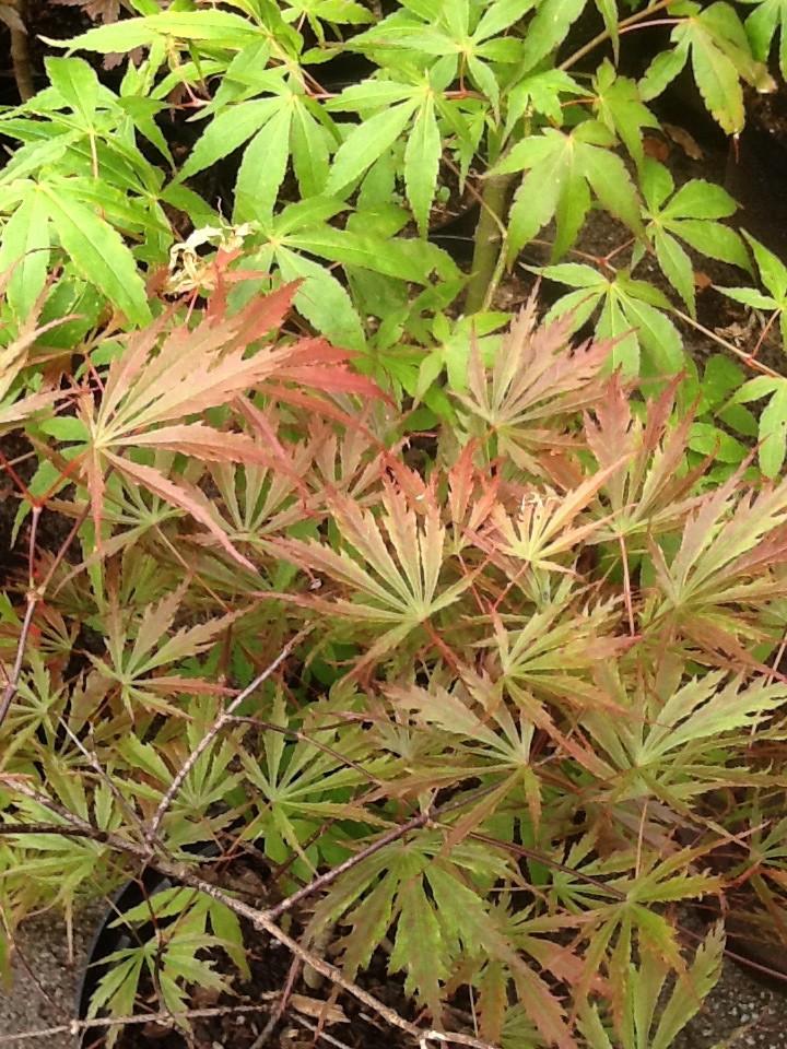 Japanese Maple Bare Root seedlings