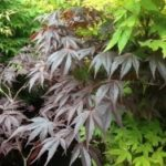 JAPANESE MAPLE SPECIMEN TREES