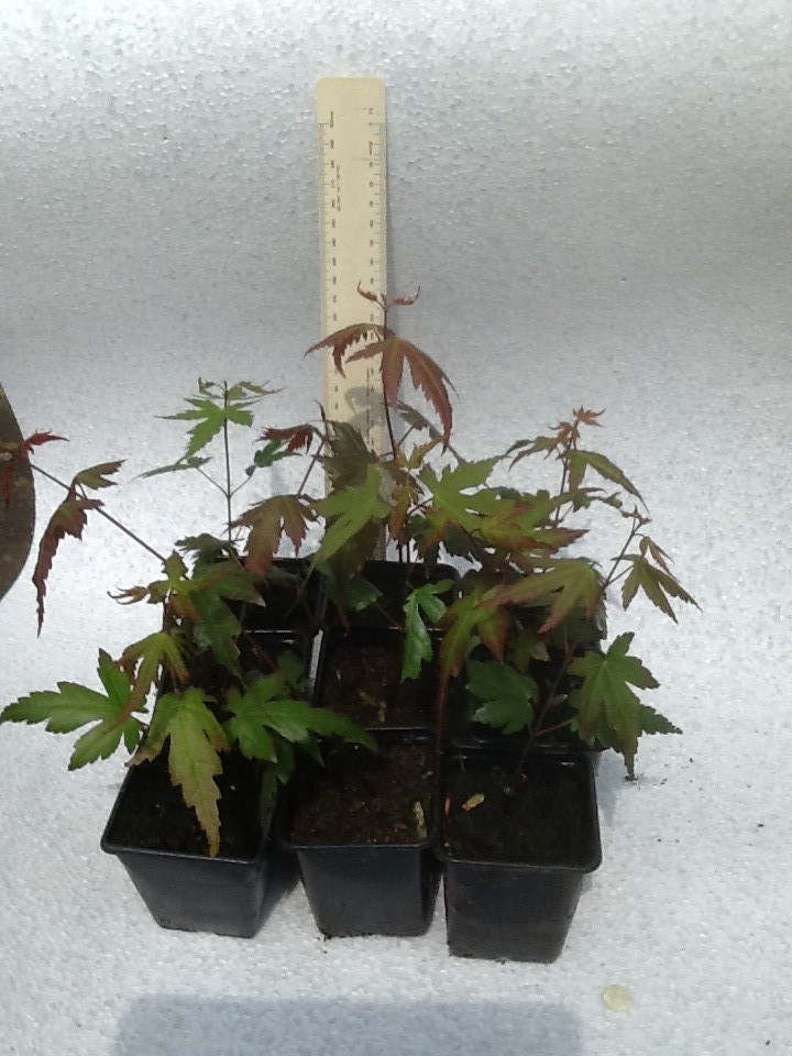 Maple trees suitable for Bonsai for sale