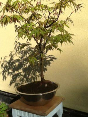 Japanese Maple Bonsai Tree in a container pot.