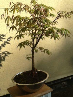 Japanese Maple Bonsai Tree in a pot