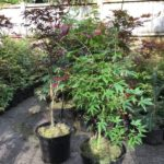 Japanese Maple Trees in a pot